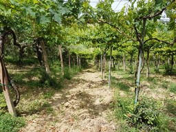 12,000 sqm of vines and olives to build a villa of 200sqm with sea and mountain views.2