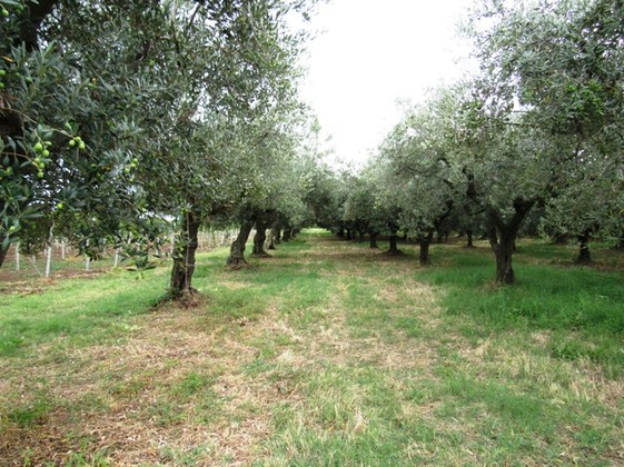 3800sqm of olive grove, 2km from the beach, to build 300sqm Villa